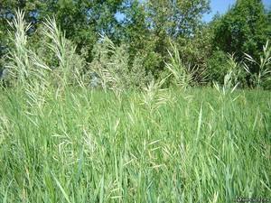 Трава зубровка