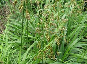 Использование травы зубровки